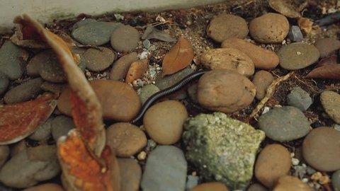 Centipede, Myriapoda diplopoda arthropoda tracheata wild insect