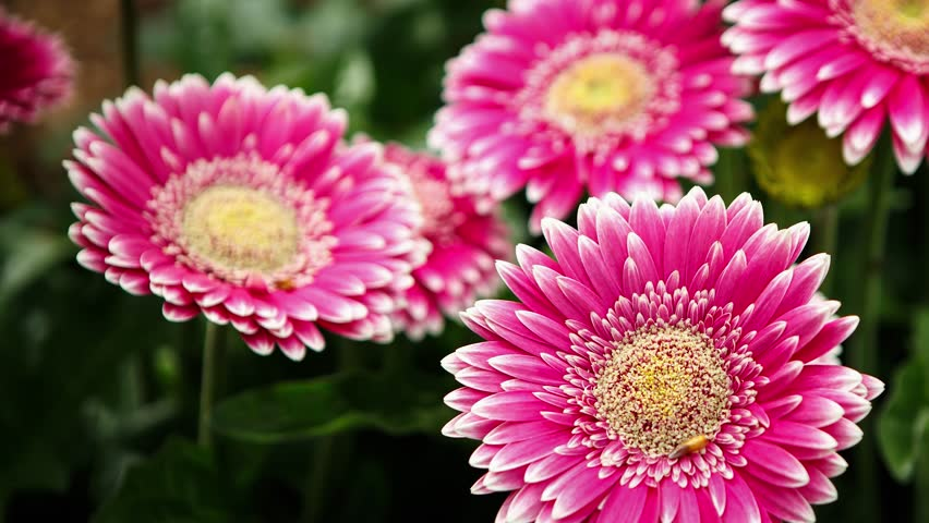 Footage of beautiful colorful pink transvaal daisies flowers bloom in spring garden.Decorative gerbera flower blossom in springtime.Beauty of nature