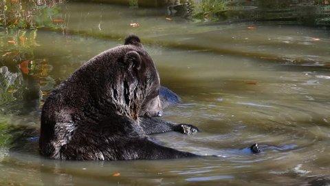 Relaxed European brown bear (Ursus arctos arctos) scratching head in pond