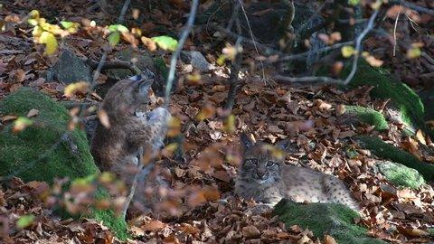 Two Eurasian lynx (Lynx lynx) kittens playing in autumn forest