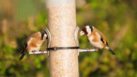 wildlife two birds goldfinches on feeding