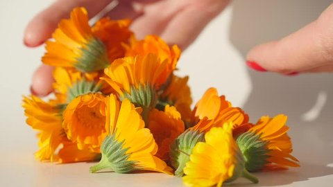 Woman's hand put carefully calendula heads on white table to dry it