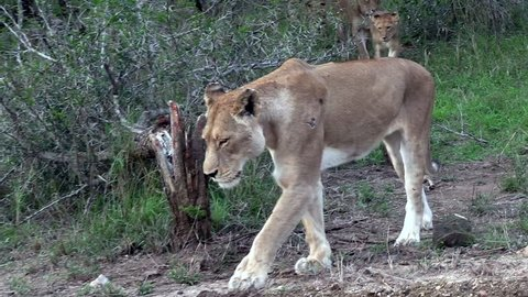 Pride of lions with cubs appearing from the bush. Greater Kruger. South Africa. Panoramic plane. Zoom in and out
