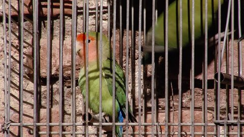 Green Parrots in Cage. Sound Included.