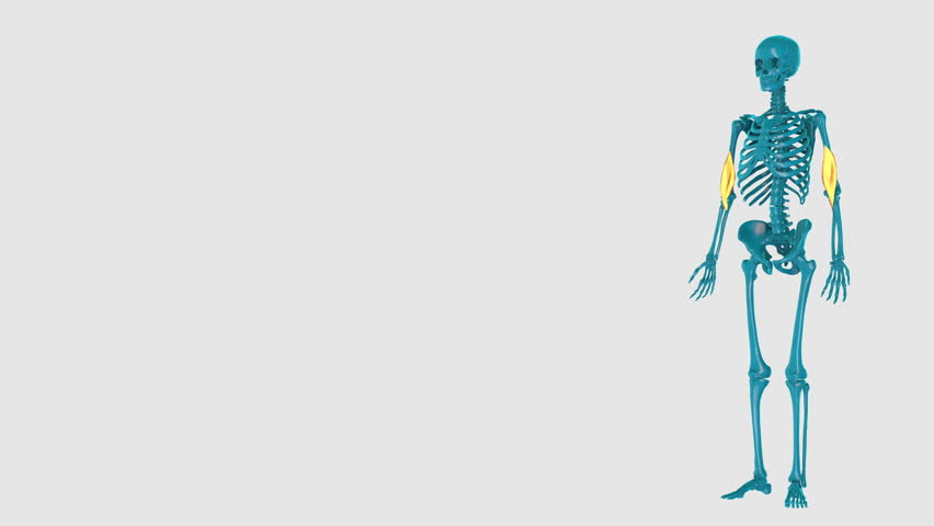 Brachialis-on a white background-3D HUMAN MUSCLE ATLAS   Shutterstock HD Video #1027926116