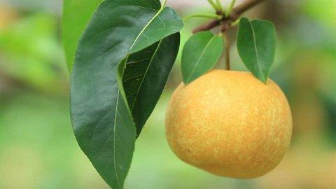 Farmer harvesting Japanese pears on plantation.