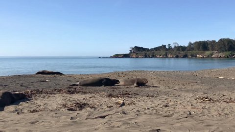 Two elephant seals at the San Simeon Beach in Central California; one is fleeing from the other