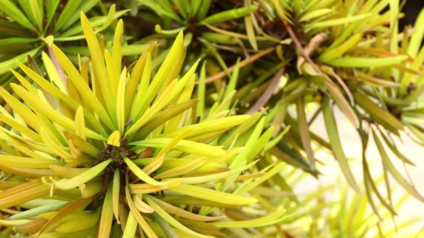 Podocarpus acutifolius, commonly called needle-leaved totara, is a species of conifer in Podocarpaceae family. It is found only in New Zealand. Its habitat is tropical high-altitude shrubland.