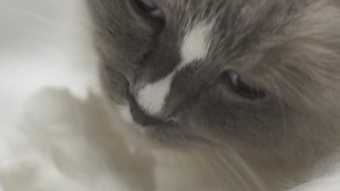 Beautiful semi-long hair soft silky coat ragdoll breed cat cleaning and licking his paws and fur on white fluffy blanket in the bedroom. Extreme close up of cat pruning or grooming himself. 4k uhd.