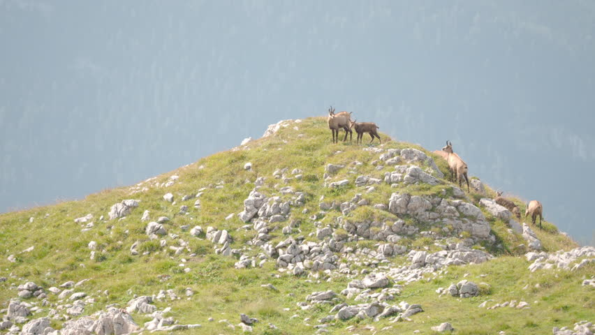 Chamois mother suckling her baby on a mountain ridge