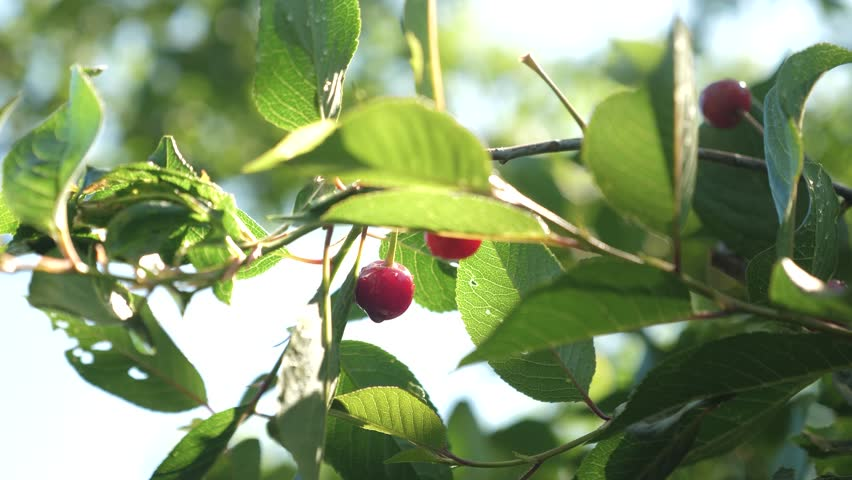 cherry tree after a rain, drops of water on a red cherry sparkle in rays of sun. Red cherry on tree branch with pair of delicious berries, Close-up. cherry orchard with ripe red berries in summer.