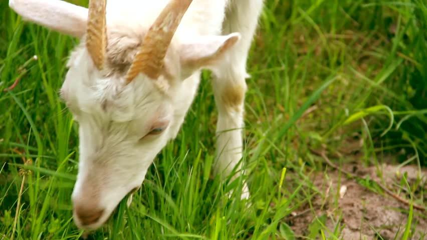 Goats Eating Long Fresh Green Grass. Farming