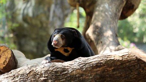Black bear resting in a tree.