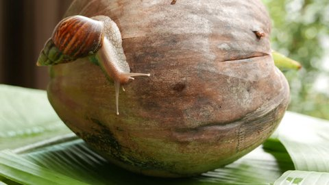 a snail is crawling in circles on a dry coconut, a snail is crawling on a yellow ball, two snails are crawling on a palm tree leaf.