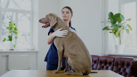 Veterinary surgeon and weimaraner dog at vet clinic