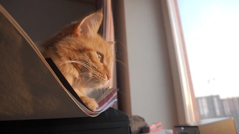 Cute ginger cat lying on pile of paper using it lika a hammack. Fluffy pet looking curiously at window.