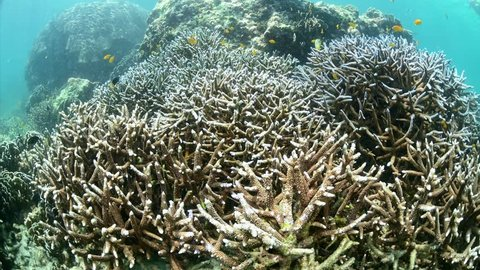 staghorn coral reef at Boulder island in Andaman sea near Ranong Thailand, Myanmar.