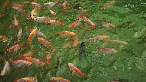 A shoal of colorful (Oreochromis niloticus) Nile Tilapia and Red Tilapia fish in the pond are fed with fish food pellets.