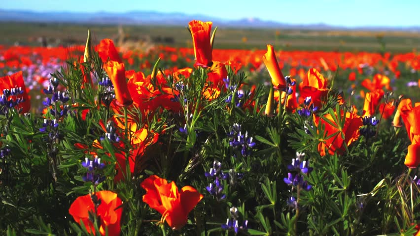 Orange poppy and blue lupine wildflower field, Antelope Valley, California