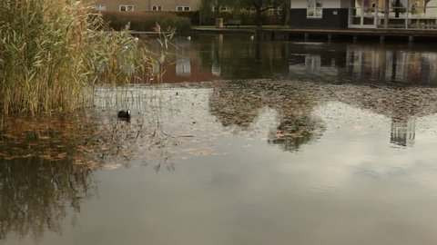 Coot gets company by other coots in lake with rush, seagulls landing on lake. Autumn colors.