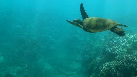 Close up: Sea Turtle Swimming Peacefully in Sun-dappled Ocean in Maui, HI