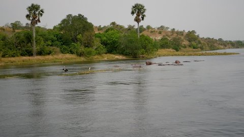 Aerial view a herd of wild African hippopotamus lies and rest in a tropical river with muddy brown water against the shore with green jungle thickets and palm tree.