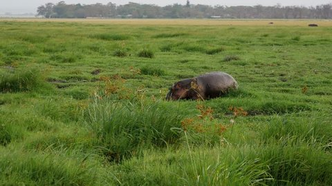 Big wild adult hippopotamus walking on a swamp pasture with fresh green grass, on the African plain. Protection of wild and rare animals in nature reserves. In the rainy season
