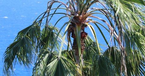 Beautiful Palm Tree Waving In The Wind, The Top Of The Washingtonia Robusta Palm Tree (Mexican Fan Palm Or Mexican Washingtonia) Against The Blue Mediterranean Sea, Ventimiglia, Liguria, Italy - 4K