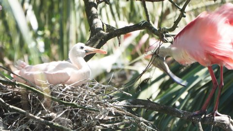 Roseate spoonbill (Platalea ajaja) nest with mother and baby. It  is a gregarious wading bird of the ibis and spoonbill family. Feeds in shallow fresh or coastal waters by swinging its bill from side