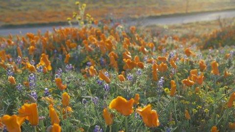 Poppy flowers along the highway in antelope valley poppy field