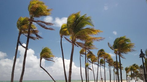 Group of beautiful palm trees with the fronds blowing in the wind. The beautiful white beach and blue green ocean is seen. The view pans toward the ocean. The sky is blue with white puffy clouds