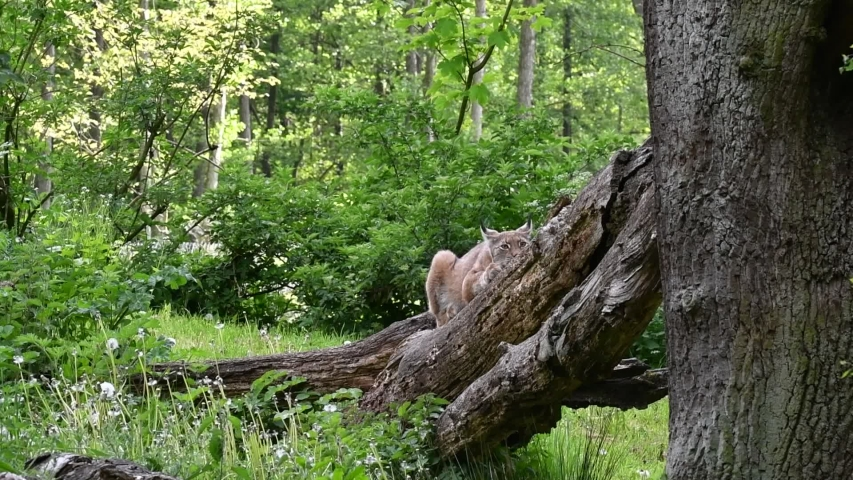 Eurasian lynx (Lynx lynx) looking around from fallen tree in forest