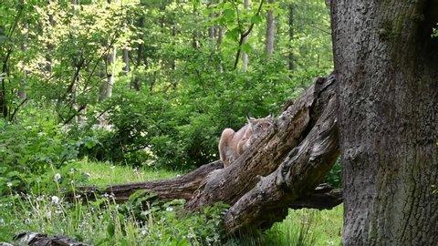 Eurasian lynx (Lynx lynx) looking around from fallen tree in forest