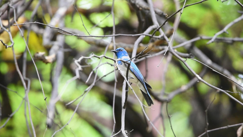 Bird (Verditer Flycatcher, Eumyias thalassinus) blue on all areas of the body, except for the black eye-patch and grey vent perched on a tree in a nature wild, Distribution Common | Shutterstock HD Video #1029885026