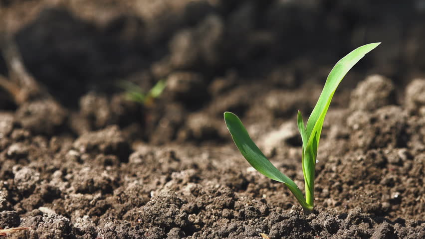 Growing Young Green Maize Corn Seedling Sprouts in Cultivated Agricultural Farm Field | Shutterstock HD Video #10299896