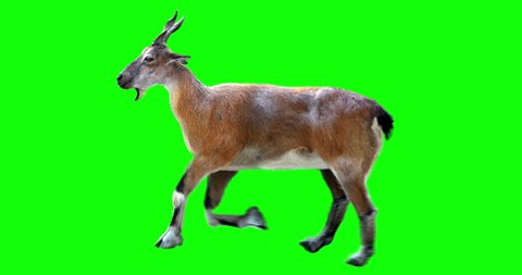 Isolated Markhor female cyclical running. Can be used as a silhouette. Green screen