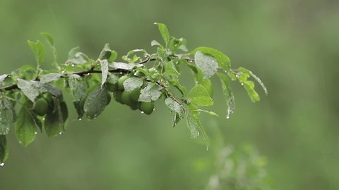 Plum tree in the garden while it is rainy. The fruits of the tree are still green