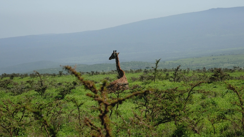 Giraffe lying on the grass resting on a hill with bushes with thorns. In the African wildlife and rare animals reserve | Shutterstock HD Video #1030103546