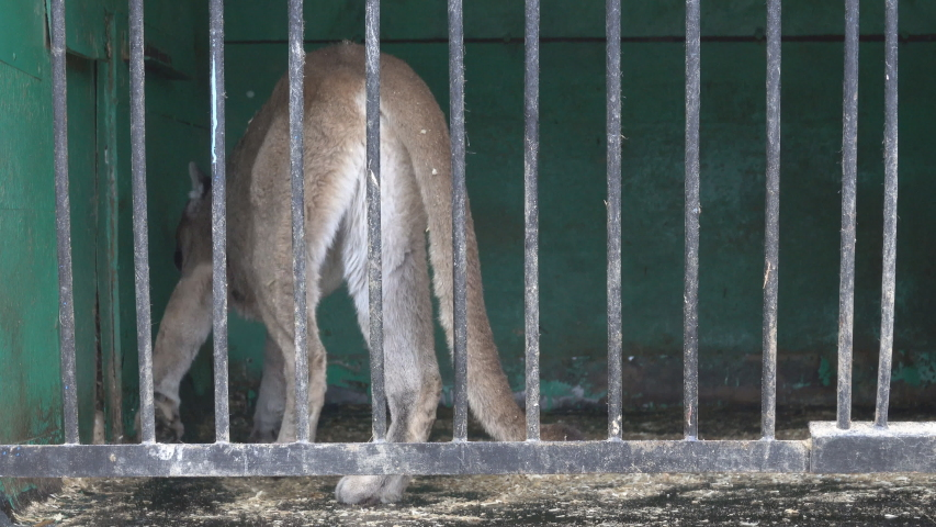American lion (Felis concolor) in cage of mobile zoo. Animals have to endure a snowy winter in the North, snowfall | Shutterstock HD Video #1030148066
