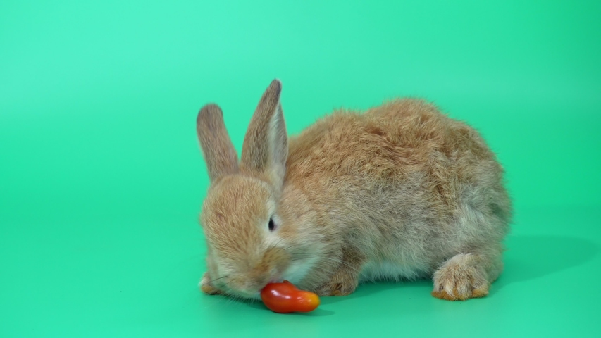 Brown adorable baby rabbit on green screen.  Cute baby rabbit eating tomato | Shutterstock HD Video #1030178186