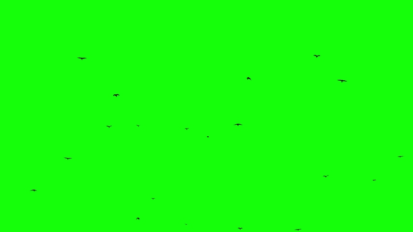 Flight of a black raven crow on a green background Chromakey footge Seamless Loop Black birds flying from right bottom to top left small birds | Shutterstock HD Video #1030207256