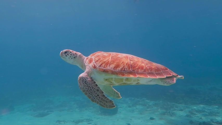 Swimming sea turtle and blue tropical ocean. Underwater video from snorkeling with the wild turtles. Marine animals. Shell, head and fins. Aquatic wildlife. #1030340636