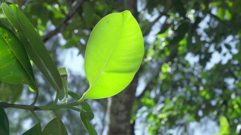 Seychelles. Praslin Island. Close up leaves of a tropical tree or bush growing on an exotic island in the Indian Ocean. Plants and trees in the Seychelles.