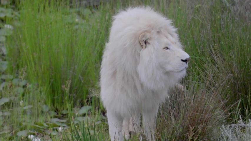 Stunning Rare Albino White Lion Stock Footage Video (100% Royalty-free)  1030554656 | Shutterstock
