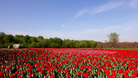 Beautiful flowerbed with red tulips, Holland