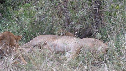 Lioness breastfeeding cubs. Serengeti, Tanzania, Africa