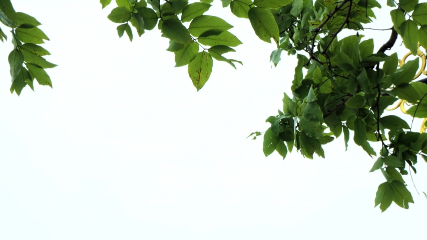 Moving branch on isolated white background in 4K | Shutterstock HD Video #1030694876