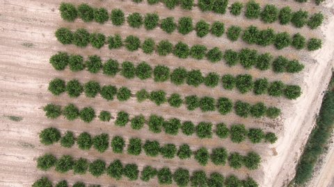 Aerial footage of Lemon tree grove full of lemons. Citrus orchard. Flowering trees in the rue family Rutaceae. Drone Top-down view with downward rotation