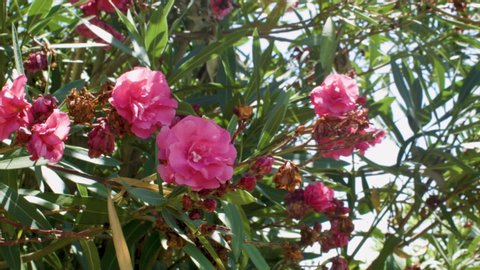 Beautiful Pink Oleander Flowers Blossoms In The Summer Sun And Wind