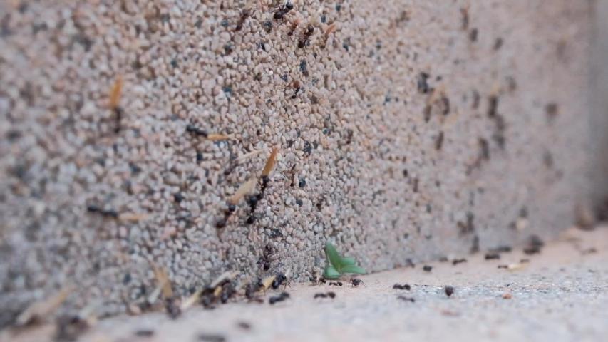 Lots of crawling big black ants dragging a flower   Shutterstock HD Video #1030754216